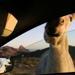 Магаре посреща на пътя пред градчето Оутман, Аризона. Снимка: Иван Бакалов