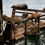 Тюлени на рибарския кей в Монтерей. Снимка: Иван Бакалов