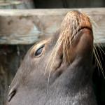 Тюлен на рибарския кей в Монтерей. Снимка: Иван Бакалов