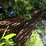 Мюър нешънъл монюмънт - горски парк със секвои. Снимка: Иван Бакалов
